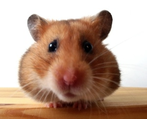 Hamster by red2000