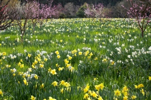 Daffodil Spring Meadow by J-Stuart