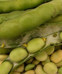 Broad beans by Tacluda
