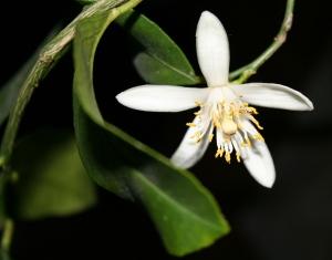 Lemon bloom by kirsche222
