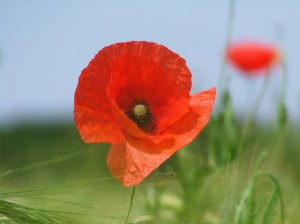 Poppy Day 2 by mcgrath197