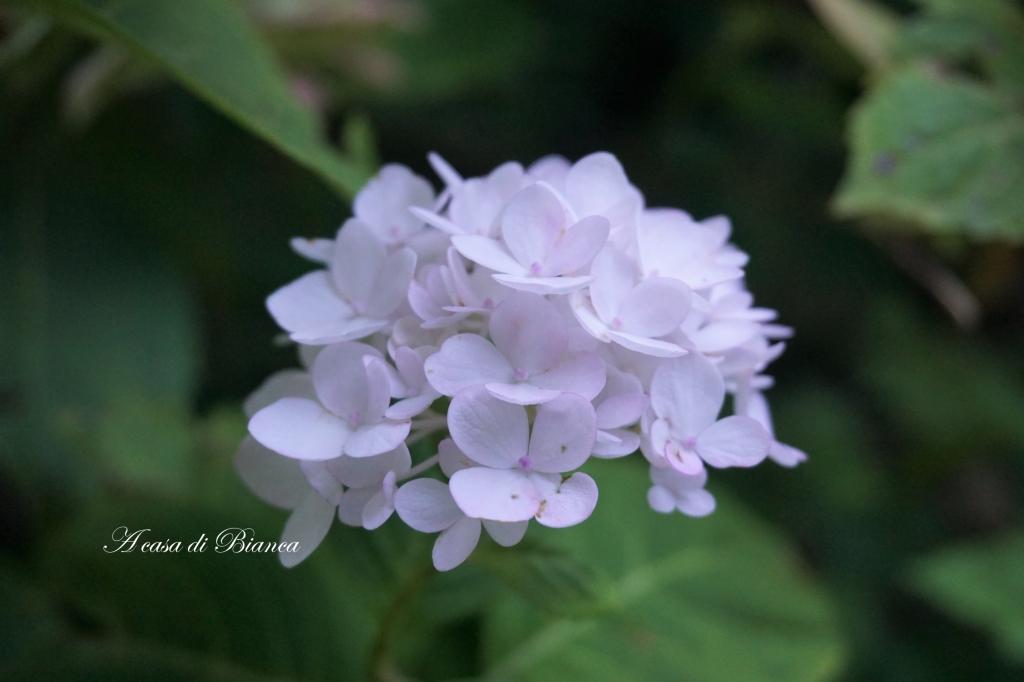a casa di Bianca, ortensie, fiori, flowers, pink flowers