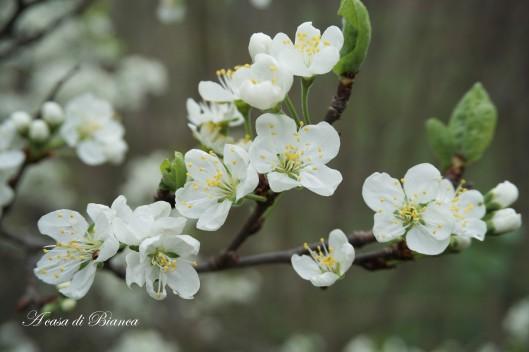 fiori di pruno bianco a casa di bianca