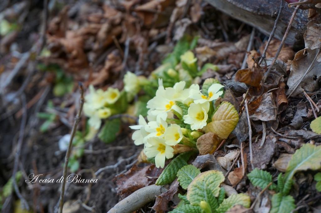 primule, primroses, a casa di Bianca, primavera