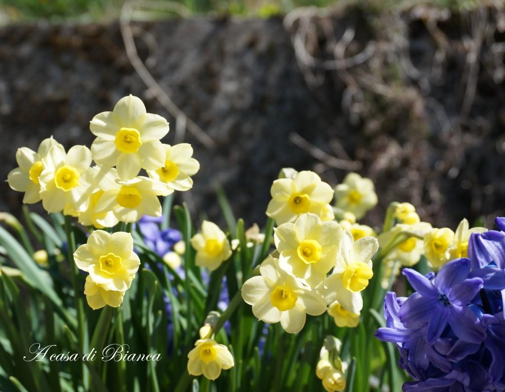 narcisi e giacinti in fiore