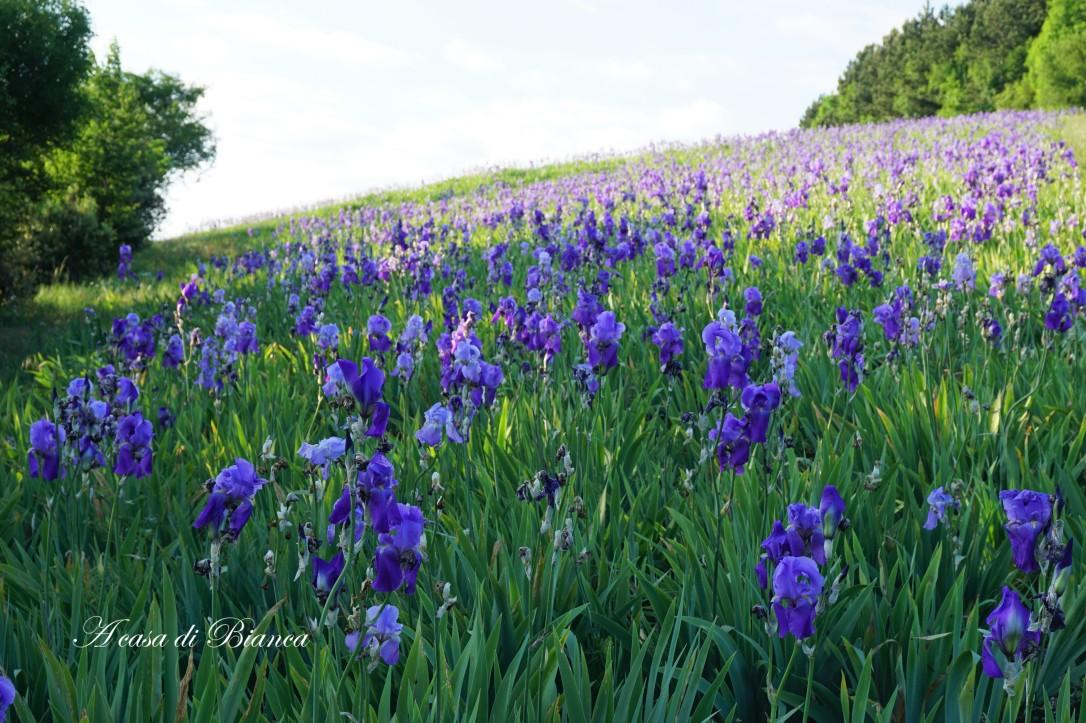 Campo di iris in fiore a casa di Bianca
