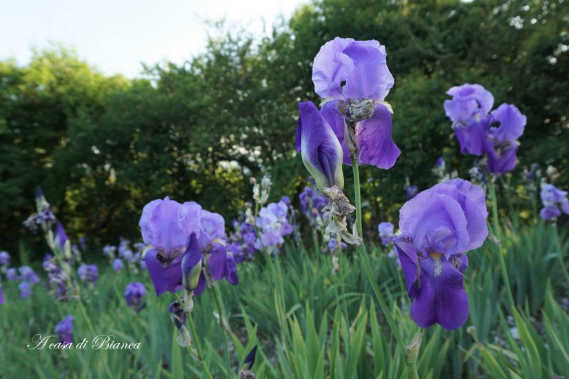 Iris germanica a casa di Bianca