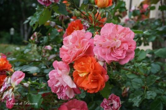 Gebruder Grimm roses a casa di Bianca