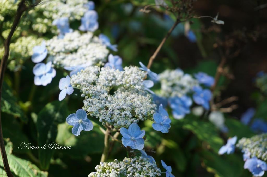 Ortensie azzurre Royal botanic Garden Edimburgo