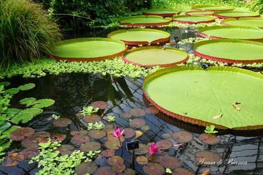 Ninfee al Royal Botanic Garden Edimburgo